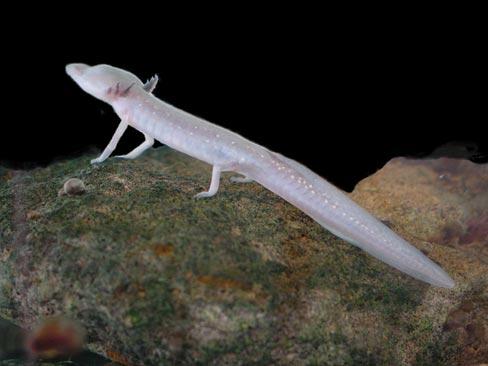 texas_blind_salamander3